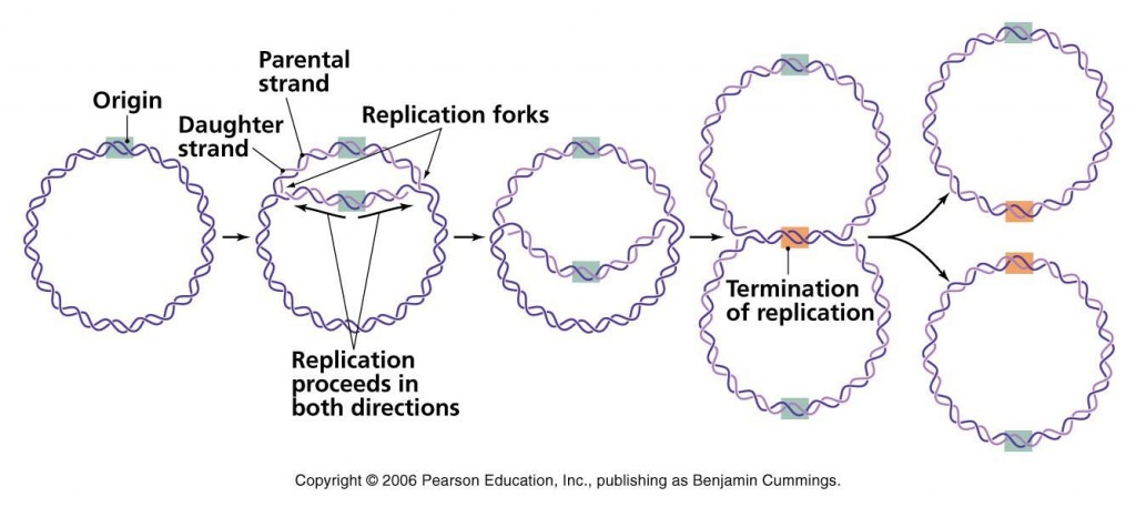 διπλασιασμός βακτηριακού dna