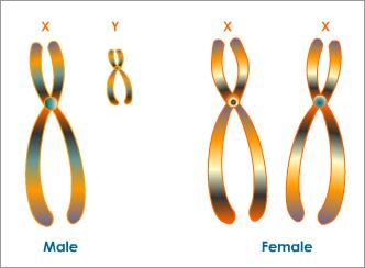 human-sex-chromosomes